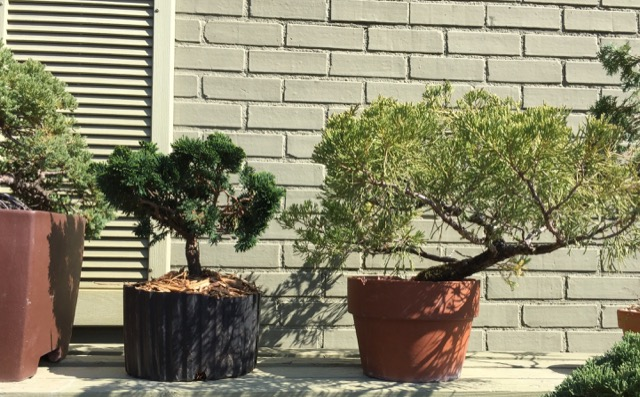 Bonsai on the Currey Farm