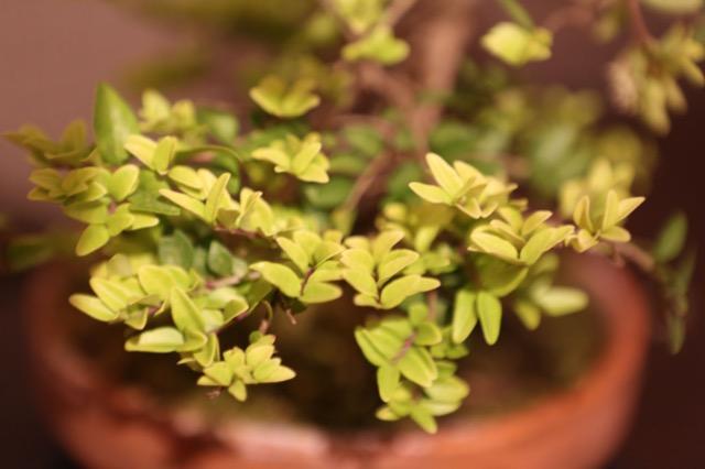 Detail of bonsai
