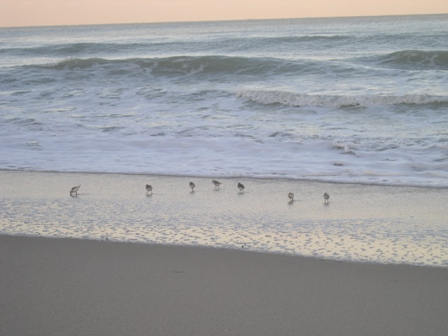 Sanderlings comb the beach for food