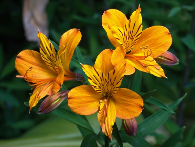 A beautiful orange and yellow Alstroemeria. Image courtesy WikiMedia and JJ Harrison.